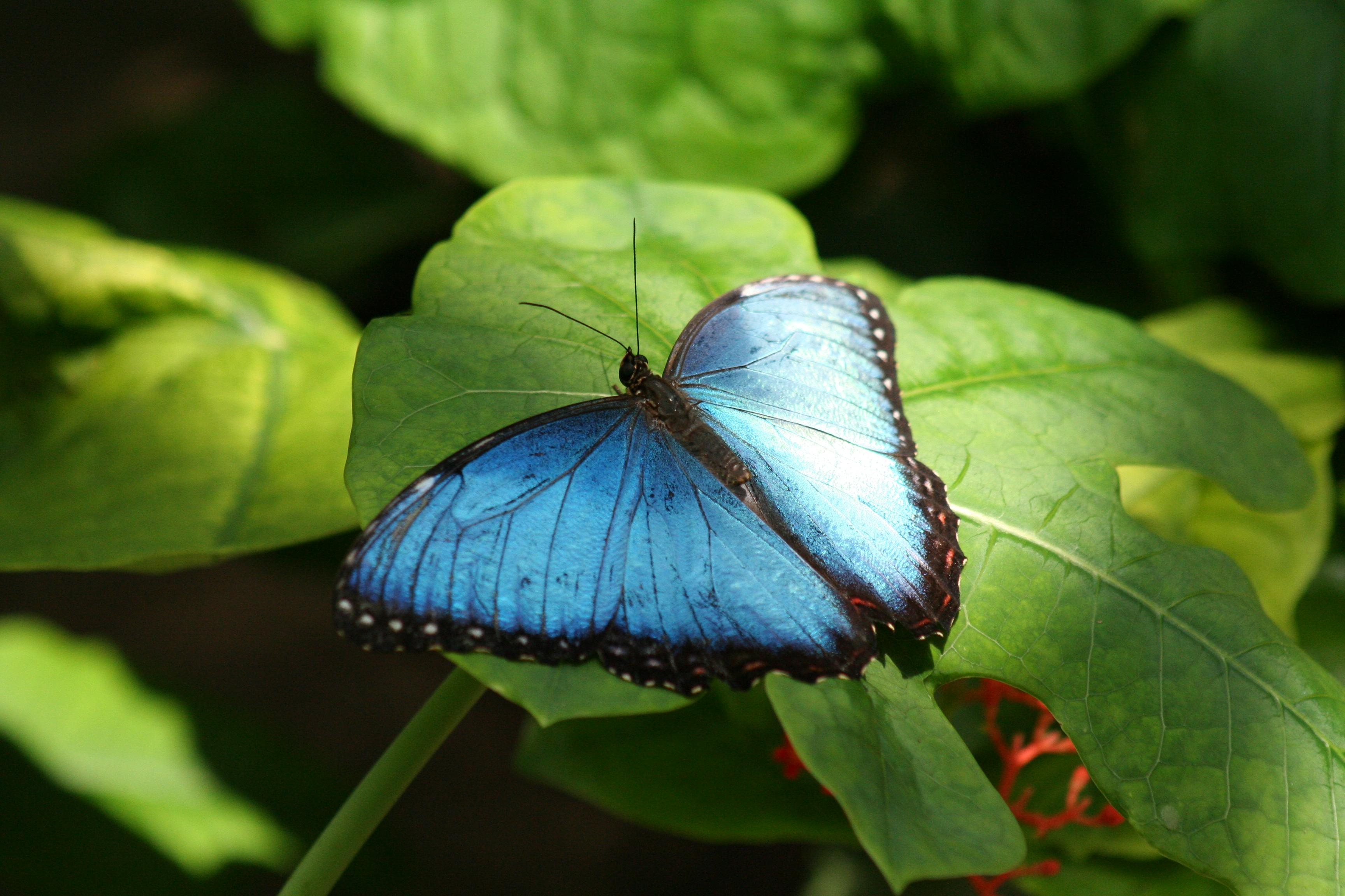 The brilliantly colored Morpho butterfly has inspired innovative biomimetic solutions.